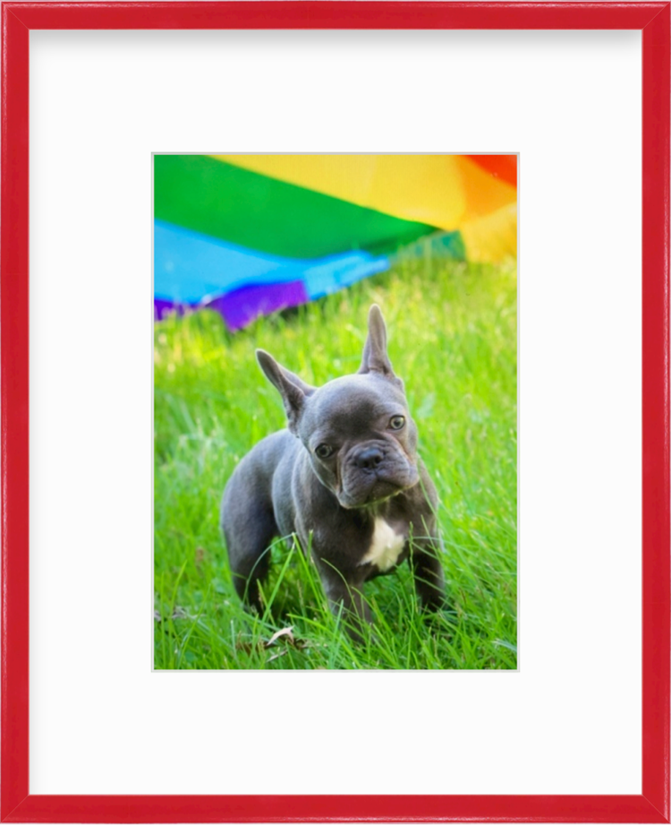 Bulldog in front of pride flag in a red frame